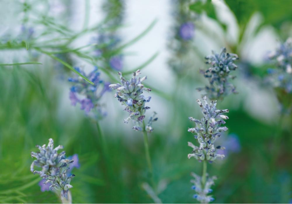 Rosen-Lavendel_1