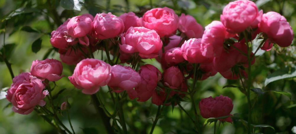 Rosen-Lavendel_7